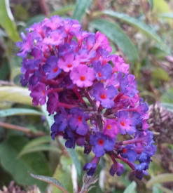 Liliac de vara Buddleja Davidii,, Royal Red