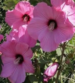 Hibiscus Moscheutos Rose Clair