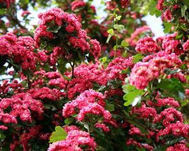 Paducel ornamental cu flori rosii Crataegus media Paul's Scarlet