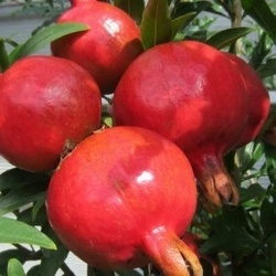 Rodia -rodie( Punica Granatum Wonderful)