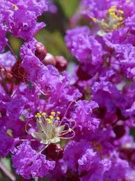 Liliac indian mov ,Lagerstroemia Indica mov