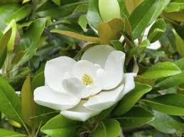 Magnolia grandiflora Galissoniera 40-60 cm