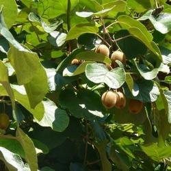 Kiwi Jenny ( Actinidia Deliciosa)