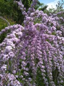 Liliacul fluturilor, Buddleja alternifolia