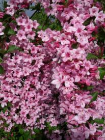 Weigela florida Rosea 40-50 cm