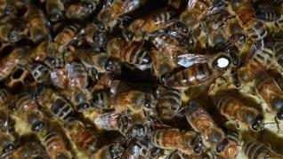 Albinele nu pot practica distanțarea socială, așa că rămân sănătoase una langa alta lucrând împreună
