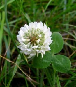 Seminte Trifoi alb 0.5kg