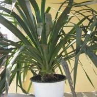 Yucca de gradina