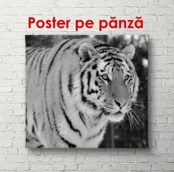 Poster, Tigru la vânătoare
