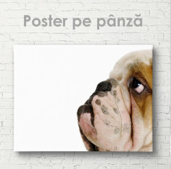 Poster, Bulldog