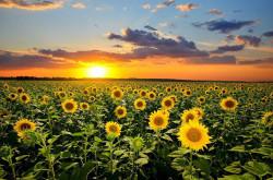 Tablou modular, Câmp cu floarea soarelui