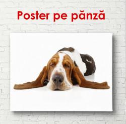Poster, Câinele se întinde pe un fundal alb