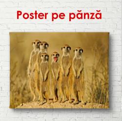 Poster, Meerkats africani