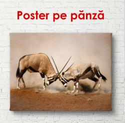 Poster, Capre de munte