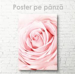 Poster, Trandafir roz de aproape