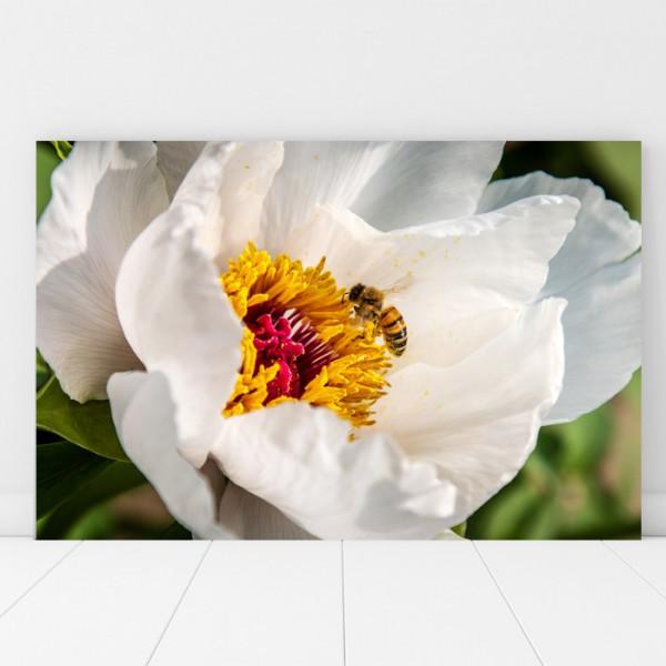 Tablou Canvas Albina La Cules Polen Din Floarea Alba AAG9