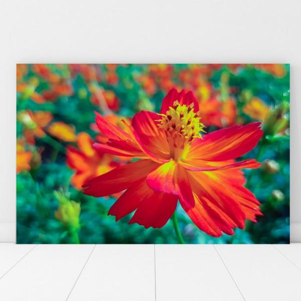 Tablou Canvas Frumoasa Floare Cosmos Caudatus AAG43