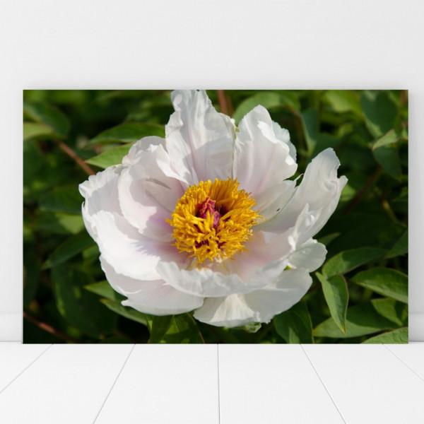Tablou Canvas Detaliu Polen Din Floarea Alba AAG50