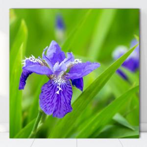 Tablou Canvas Iris Versicolor AAG11