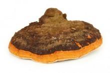 Chaga mushroom pudra premium 60gr  EverTrust