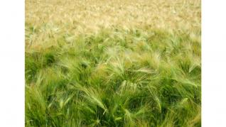 Ovazul, cea mai completă cereala are numeroase beneficii