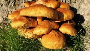 Ciupercile medicinale benefice in tratarea multor boli
