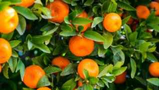 Portocalele - mai mult decat vitamina C