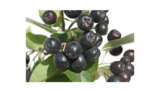 Aronia, fructe cu o mare capacitate antioxidanta