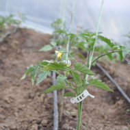 CLEME TOMATE