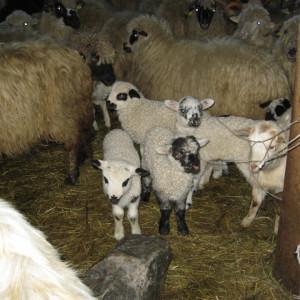 Carne miel/ied - livrare doar in Sibiu - PRET MAXIM, SE POATE MODIFICA IN FUNCTIE DE GREUTATEA FINALA