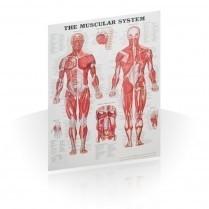Anatomski posteri coveka