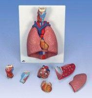 Mulaj laringe-plamani-inima (7 piese)