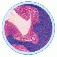 Set lame embriologie si dezvoltare in regnul animal -10 lame