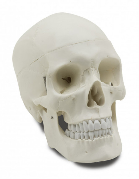 Mulaj craniu uman