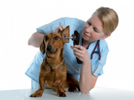 VIDEO otoscop veterinar