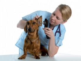 VIDEO otoscop veterinar