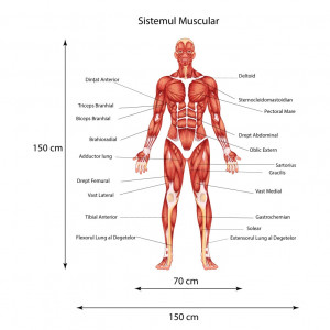 Sticker perete Sistemul Muscular