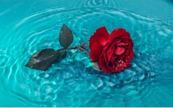 Trandafir criogenat: ce este, cat tine si cui il poti oferi