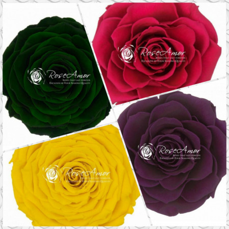 Trandafiri criogenati XXL, diverse culori