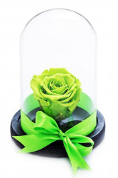Trandafir criogenat XL - in cupola