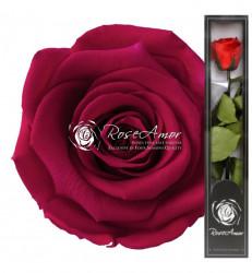 Trandafir criogenat cu tulpina, Ciclam