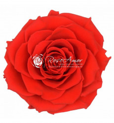 Trandafir criogenat XXL - Rosu