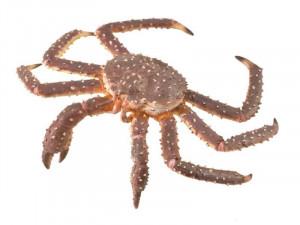 Figurina Crab Regal pictata manual XL Collecta