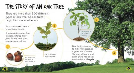Lifecycles: Acorn to Tree