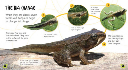 Lifecycles: Tadpole to Frog