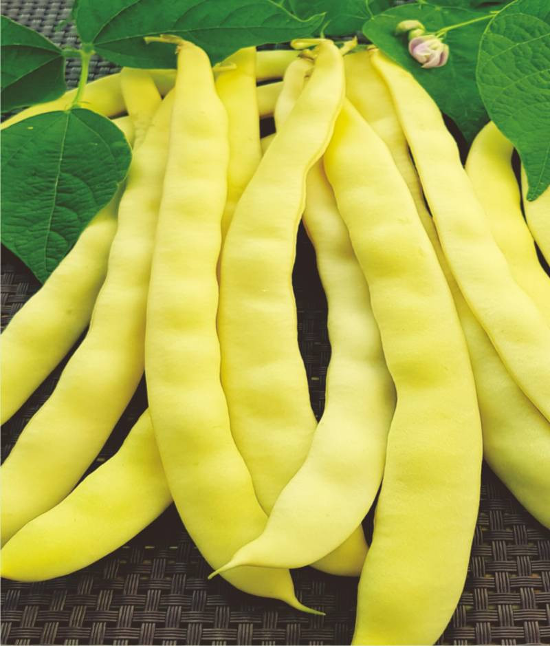Albenghino (1 kg) seminte de fasole urcatoare pentru boabe alba, Agrosem