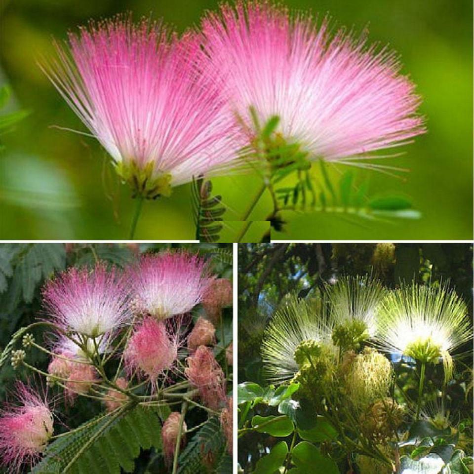 Arbore de matase, seminte de Albitia persana specie decorativa exotica, Vilmorin