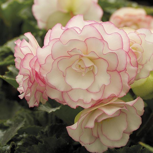 Begonie Picotee Pastel Salmon (2 bulbi), floare mare, culoare roz-somon, bulbi de flori