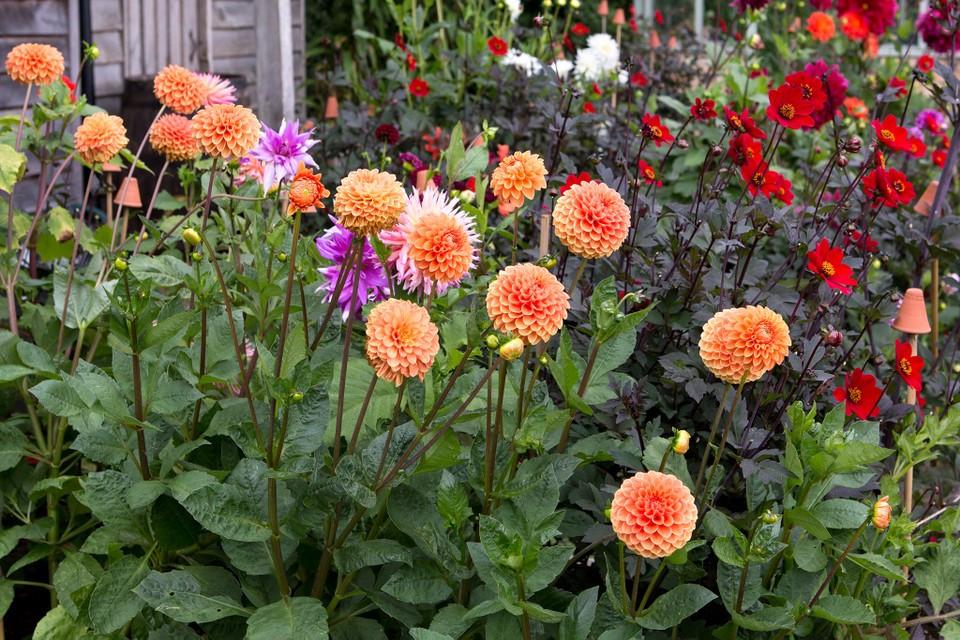Dalie Decorative Orange (1 bulb), floare portocalie anuala, bulbi de flori