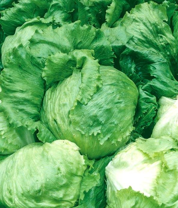 Salata Ice Queen (3 gr) seminte de salata soi timpuriu de iarna, Opal
